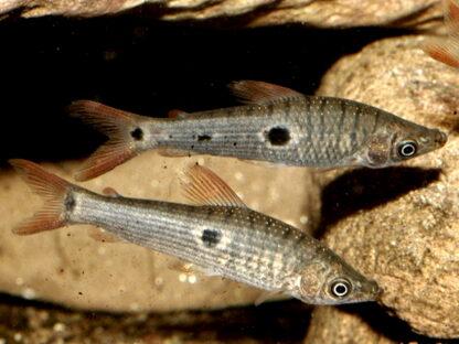 Pseudanos trimaculatus