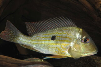 "Geophagus sp. aff. altifrons ""Tapajos"""