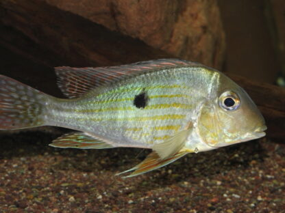 """Geophagus sp. aff. altifrons """"Tapajos"""""""