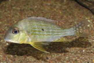 "Geophagus altifrons ""Tapajos"""