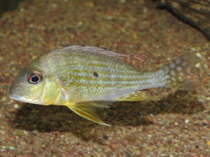 """Geophagus altifrons """"Tapajos"""""""