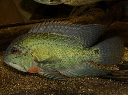 """Hoplarchus psittacus """"Rio Negro"""" WF"""