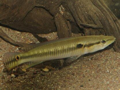 """Crenicichla sp. aff. saxatilis """"Maica"""" WF"""